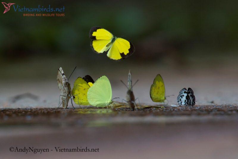 A picture with 3 species : Eurema hecabe, Gandaca harina, Caleta elna.