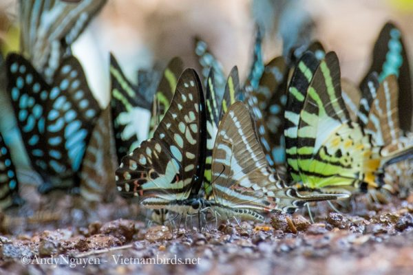 I think this swallowtail party has 7 or 8 names. The most obvious one is probably the guy with sword, Graphium aristerus.
