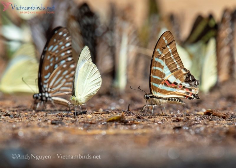 Graphium aristeus on the right of the picture, the common name is the chain swordtail.