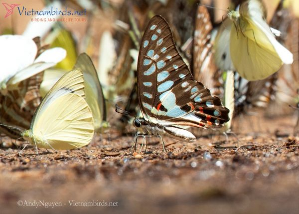 Graphium doson, the common jay, is a black on upper side, a tropical swallowtail butterfly. Underside pale blue spots marking on brown ground. Appias albina, the common albatross in front of.