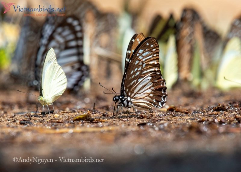 Graphium macareus, the lesser zebra, is the smallest swallowtail guy in the bunch.