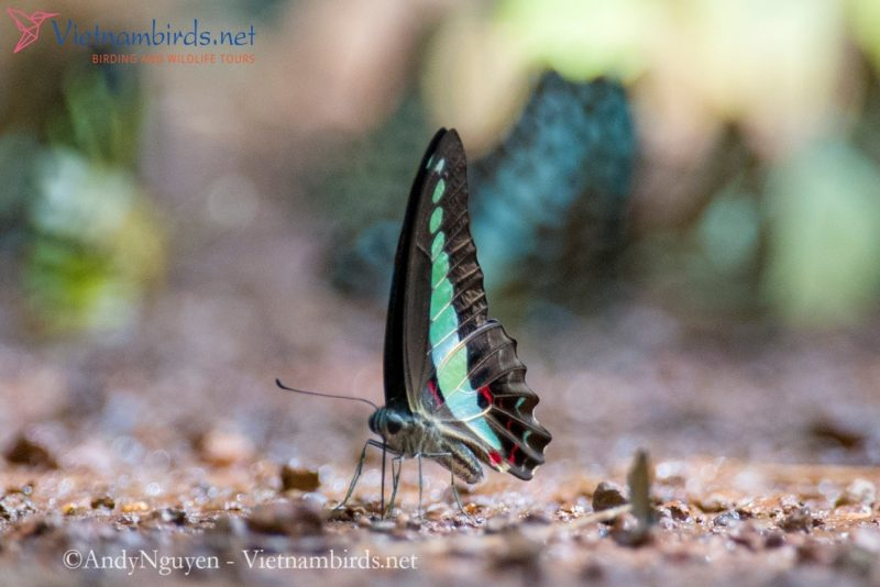 Graphium sarpedon, the common bluebottle. Very common in any group.