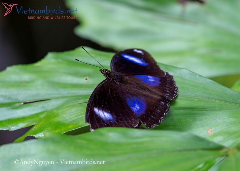 Hypolimnas bolina, the great egg fly, appear in the trails under the foliage, iridescent blue can turn purple or gloss if we change the angle of view.