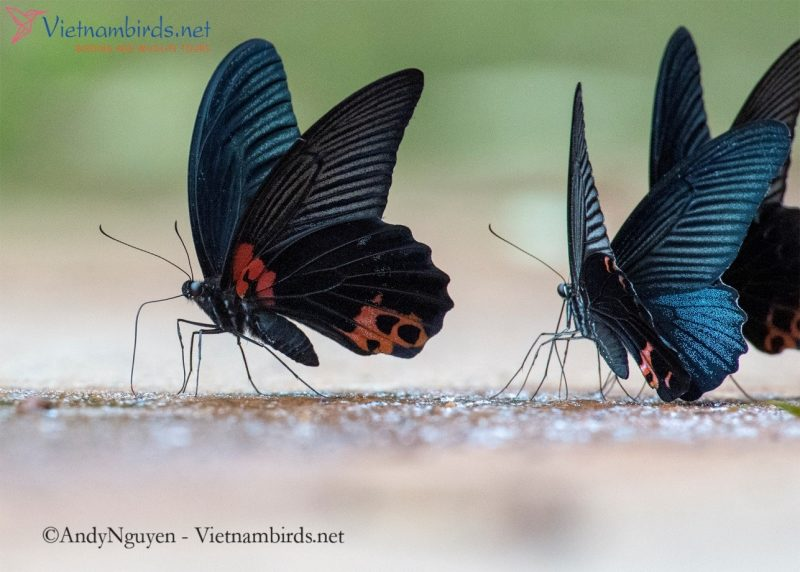 In front is the Papilio memnon, behind is another butterfly, Papilio protenor (The Spangle)
