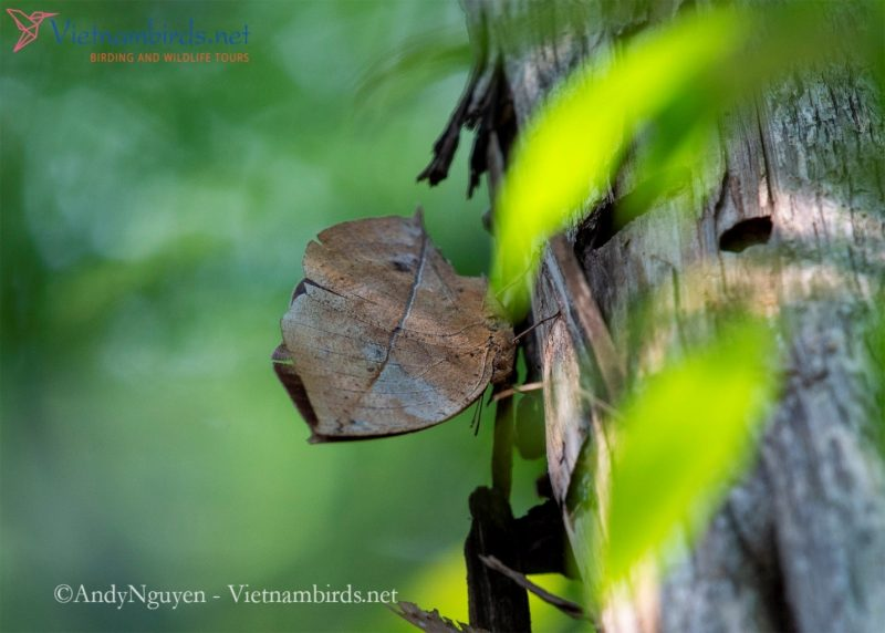 Kallima albofasciata, the Andaman oakleaf, is the most successful fake dry leaf butterfly, they look like an amazingly dry leaf. Without the movement of wings, we would hardly recognize a butterfly. In particular, this beautiful butterfly only appears under the forest canopy.