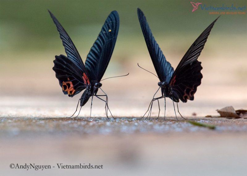 A pair of big, sexy and constantly waving wings. They like to dance or they feel pretty to get attention: Papilio memnon.