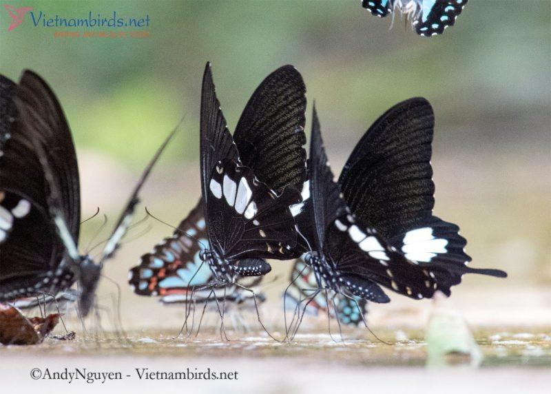 Papilio nephelus, the yellow Helen.