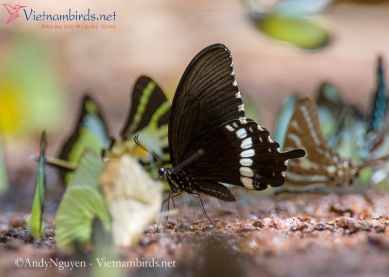 Papilio polytes, the common Mormon, is a common species of swallowtail butterfly widely distributed in Asia, But they are low density.