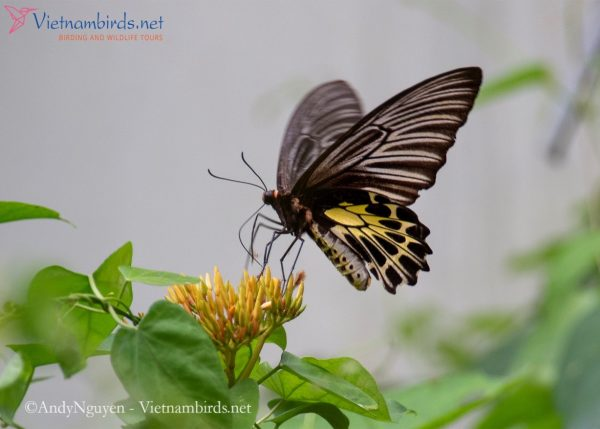 Troides aeacus, the golden birdwing.